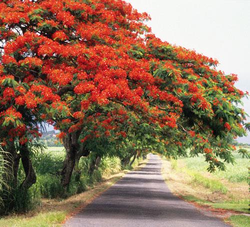 Mùa hè đỏ thắm màu hoa phượng
