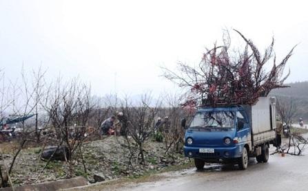 Taxi tải chở cây cảnh ngày tết
