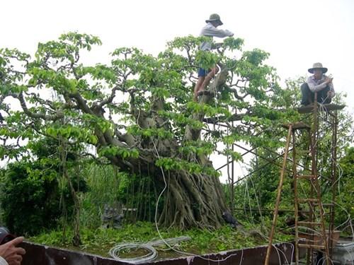 Vận chuyển cây cảnh lớn