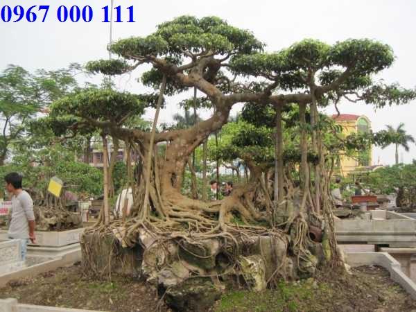 Chuyển cây cảnh lâu năm quý hiếm